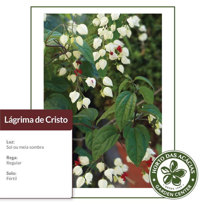 Cuidados básicos da planta Lágrima de Cristo com imagem da planta Luz: Sol ou meia sombra Rega: regular Solo:Fértil