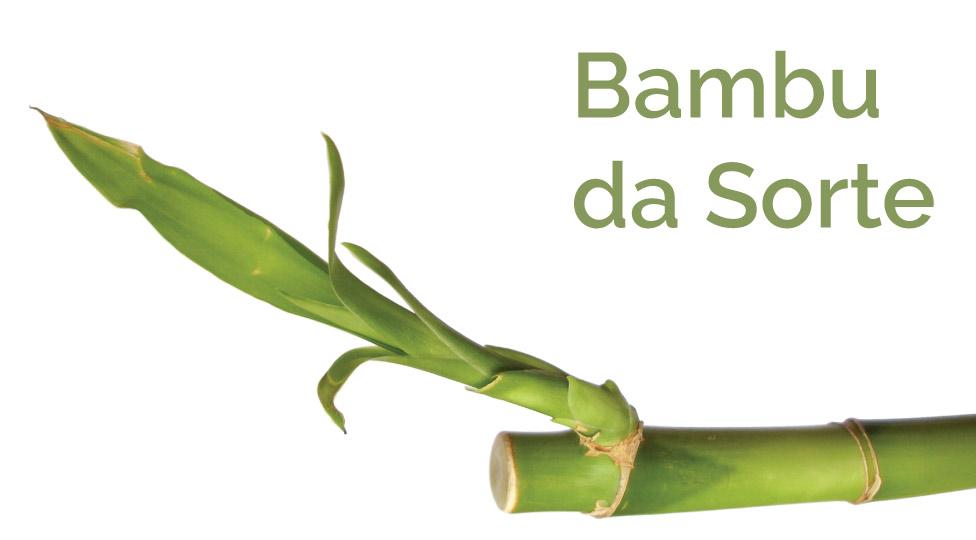 Bambu da sorte – como cuidar e simbologia