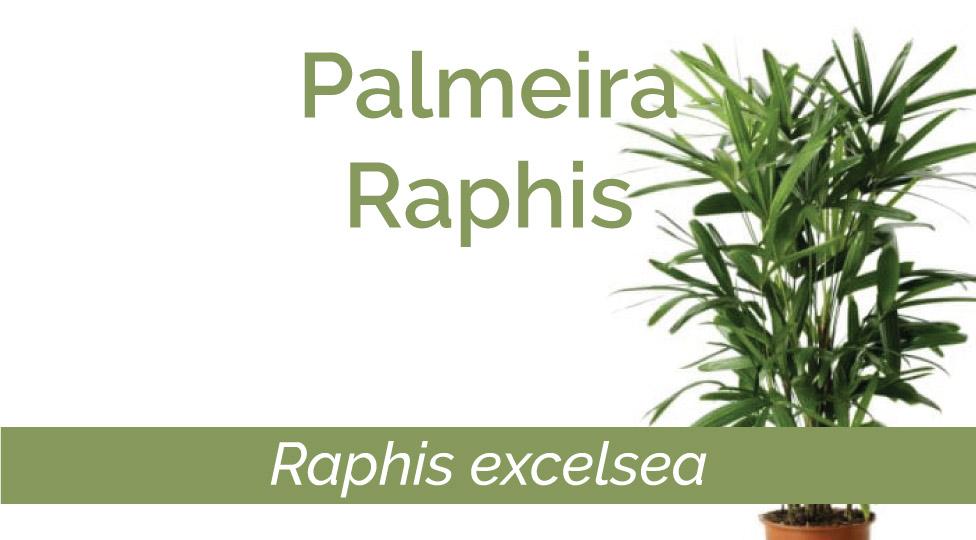 Palmeira Raphis – fácil de cuidar